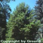 Drehkiefer 80-100cm - Pinus contorta