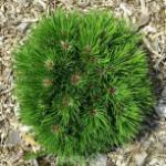 Zwergfichte Schmidt 15-20cm - Pinus leucodermis