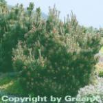 Strauchkiefer Gnom 25-30cm - Pinus mugo