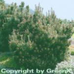 Strauchkiefer Gnom 60-70cm - Pinus mugo