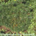 Zwergkiefer Humpy 15-20cm - Pinus mugo