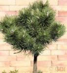 Hochstamm Kugelkiefer Mops 40-60cm - Pinus mugo