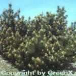Bergkiefer Latschenkiefer 60-80cm - Pinus mugo