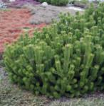 Krummholz Kiefer 25-30cm - Pinus mugo mughus
