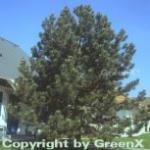 Säulen Schwarzkiefer 80-100cm - Pinus nigra