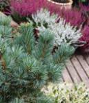 Mädchenkiefer Blue Giant 40-50cm - Pinus parviflora