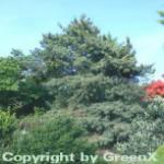 Japanische Zwergmädchenkiefer 60-70cm - Pinus parviflora