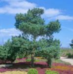 Gemeine Kiefer Glauca 80-100cm - Pinus sylvestris
