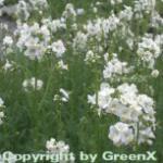 Weiße Himmelsleiter - Polemonium caeruleum