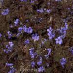 Jakobsleiter Purple Rain - Polemonium reptans