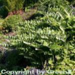 Hoher Salomonssiegel Weihenstephan - Polygonatum Hybrid