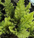 Weicher Schildfarn Congestum - Polystichum setiferum