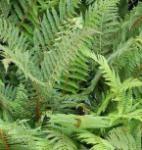 Weicher Schildfarn Wollaton - Polystichum setiferum