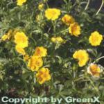 Fingerkraut Goldklumpen - Potentilla aurea