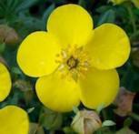 10x Kleiner Spierstrauch Goldfinger - Potentilla fruticosa