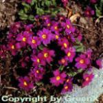 Teppich Primel Wanda - Primula pruhoniciana