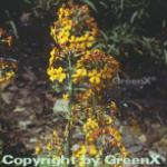 Yunnan Primel - Primula chungensis