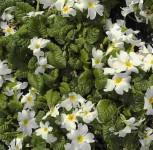Teppich Primel Schneewittchen - Primula pruhoniciana