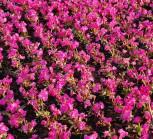 Rosen Primel Grandiflora - Primula rosea