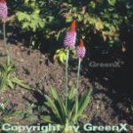 Orchideen Primel - Primula vialii