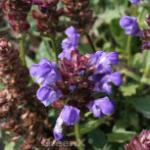 Großblütige Braunelle Violet Blue - Prunella grandiflora