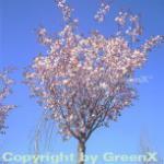 Kleinblütige Frühlingszierkirsche 100-125cm - Prunus Pandora