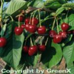 Süßkirsche Hedefinger Riesen 60-80cm - hellrote süße Früchte