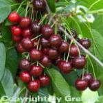 Selbstfruchtende Süßkirsche Lapiens 60-80cm - rote süße Früchte