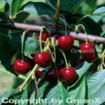 Süßkirsche Oktavia 60-80cm - dunkelrote süße Früchte