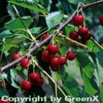 Süßkirsche Regina 60-80cm - dunkelrote süße Früchte