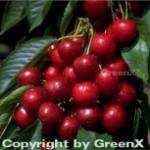 Selbstfruchtende Süßkirsche Sunburst 60-80cm - dunkelrote süße Früchte