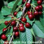 Süßkirsche Valeska 60-80cm - dunkelrote süße Früchte