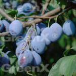 Zwetsche 60-80cm - Prunus domestica