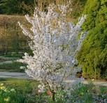 Schlanke Blütenkirsche Spire 60-80cm - Prunus hillieri