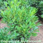 Kaukasische Lorbeerkirsche 80-100cm - Prunus laurocerasus