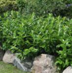 Kirschlorbeer Diana 40-60cm - Prunus laurocerasus