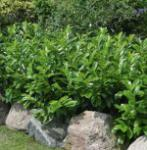 Kirschlorbeer Diana 60-80cm - Prunus laurocerasus