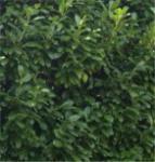Lorbeerkirsche Greenpeace 40-60cm - Prunus laurocerasus