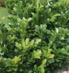 Lorbeerkirsche Kleopatra® 80-100cm - Prunus laurocerasus