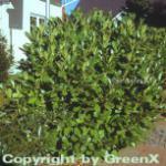 Kirschlorbeer Rotundifolia 40-60cm - Prunus laurocerasus