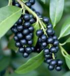 Lorbeerkirsche Zabliana 40-60cm - Prunus laurocerasus