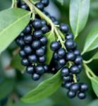 Lorbeerkirsche Zabliana 60-80cm - Prunus laurocerasus