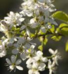 Steinweichsel 100-125cm - Prunus mahaleb