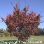 Blut Nelkenkirsche 100-125cm - Prunus serrulata