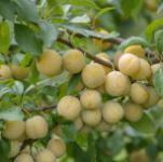Hochstamm Mirabelle Bellamira 60-80cm - Prunus syriaca