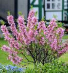 Zwerg Mandelbäumchen Fire Hill 40-60cm - Prunus tenella