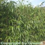 Pfeilbambus 100-125cm - Pseudosasa japonica