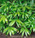 Kurilen Bambus 60-80cm - Pseudosasa kurilensis