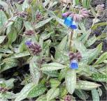 Lungenkraut Blauer Hügel - Pulmonaria longifolia