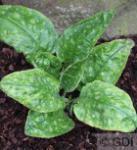 Echtes Lungenkraut Sissinghurst White - Pulmonaria officinalis